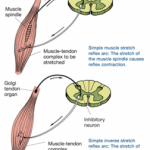 Muscle Energy Technique (MET) Santa Barbara, Goleta, Ca