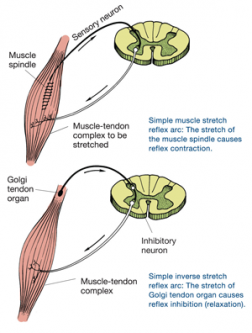 What is Autogenic and Reciprocal Inhibition? Autogenic and reciprocal inhibition both occur when certain muscles are inhibited from contracting due to the activation of the Golgi tendon organ (GTO) and the muscle spindles. These two musculotendinous proprioceptors located in and around the joints and muscles respond to changes in muscle tension and length, which helps manage muscular control and coordination.  The GTO, located between the muscle belly and its tendon, senses increased tension when the muscle contracts or stretches. When the muscle contracts, the GTO is activated and responds by inhibiting this contraction (reflex inhibition) and contracting the opposing (antagonist) muscle group. This process is known as autogenic inhibition.  The GTO response plays an important role in flexibility. When the GTO inhibits the (agonist) muscle's contraction and allows the antagonist muscle to contract more readily, the muscle can be stretched further and easier. Autogenic inhibition is often seen during static stretching, such as during a low-force, long-duration stretch. After 7 to 10 seconds, muscle tension increases and activates the GTO response, causing the muscle spindle in the stretched muscle to be inhibited temporarily, which makes it possible to stretch the muscle further.  The muscle spindle is located within the muscle belly and stretches along with the muscle itself. When this occurs, the muscle spindle is activated and causes a reflexive contraction in the agonist muscle (known as the stretch reflex) and relaxation in the antagonist muscle. This process is known as reciprocal inhibition.