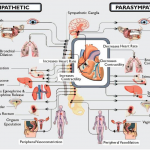 Parasympathetic Massage Therapy Santa Barbara