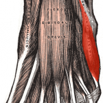 Abductor Digiti Minimi (foot)