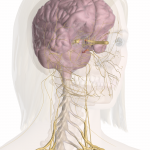 Pain caused by Nerves, Muscles of the Neck